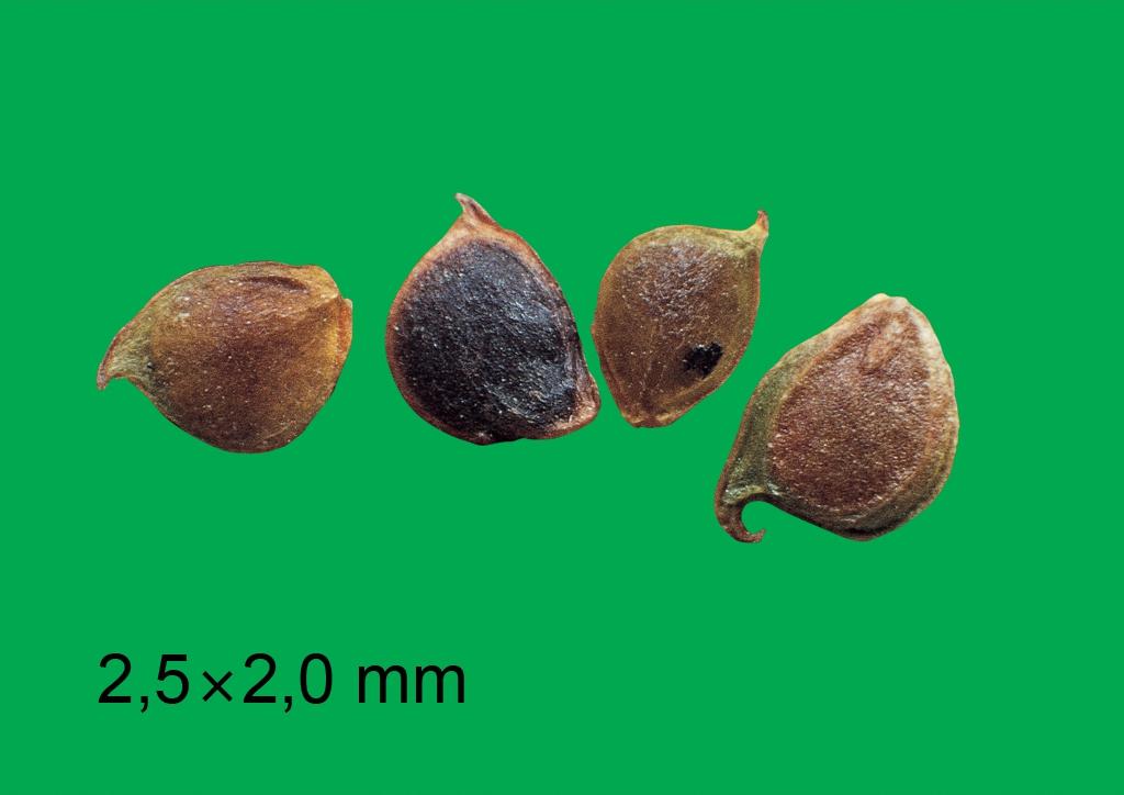 Ranunculus acris - mag