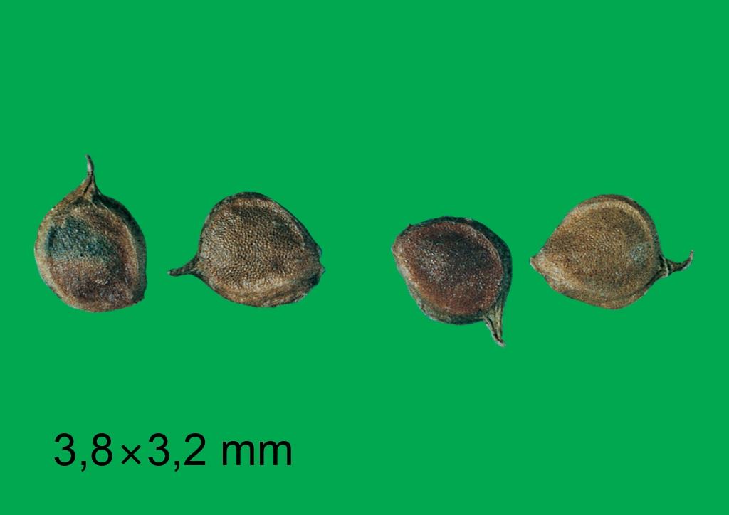 Ranunculus repens - mag