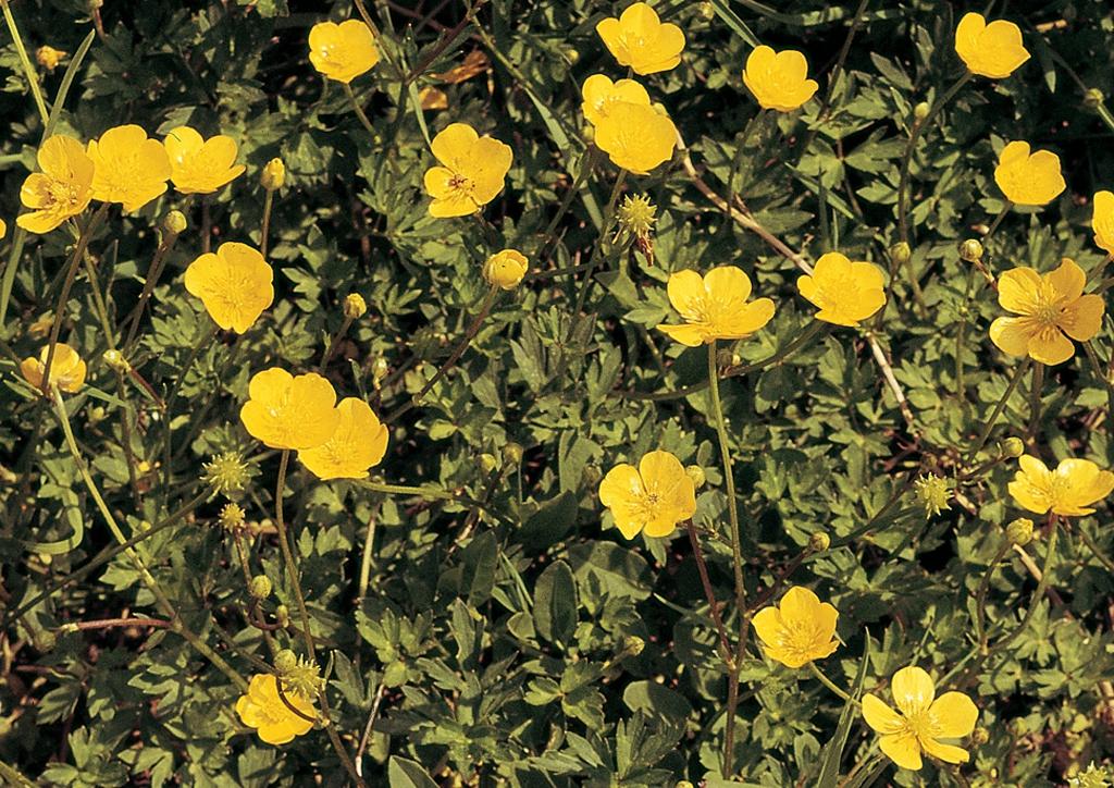 Ranunculus repens - kifejlett növény