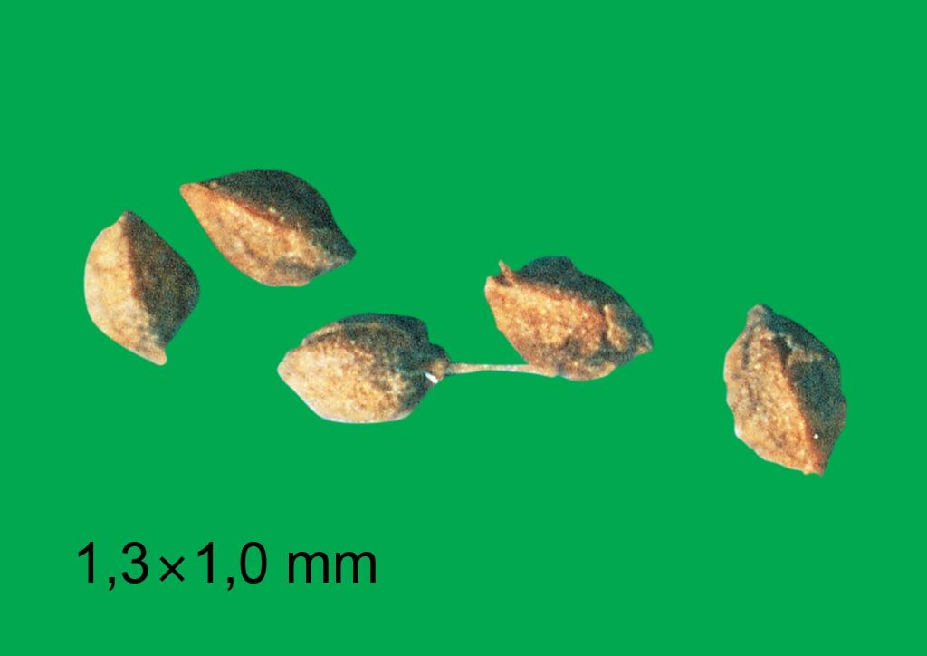 Rumex acetosella - mag