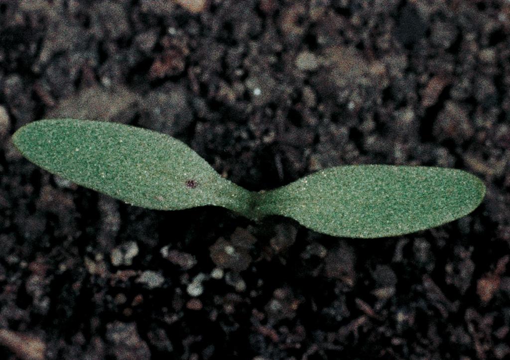 Rumex acetosella - csíranövény