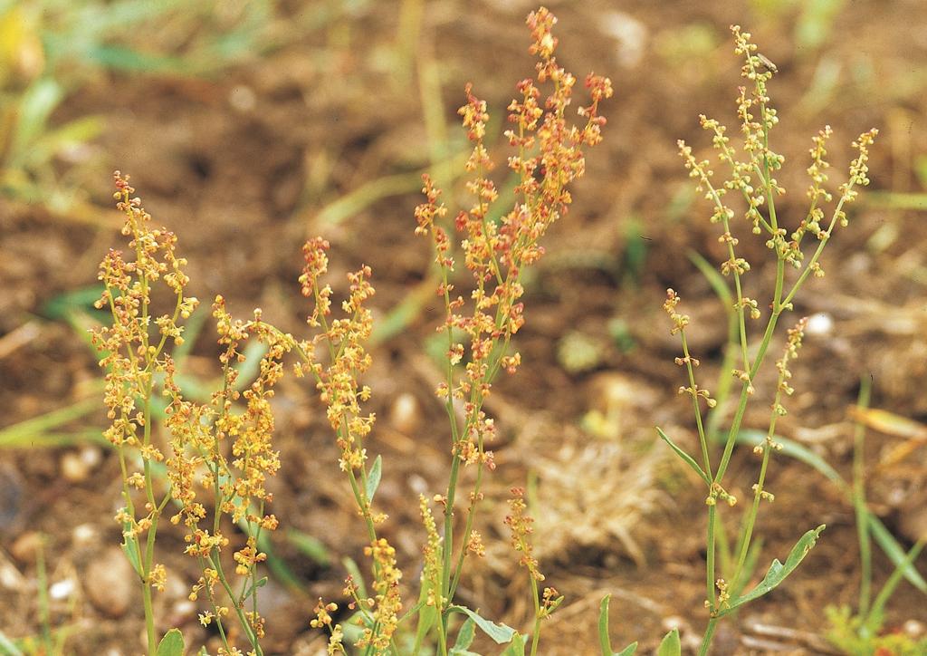 Rumex acetosella - kifejlett növény