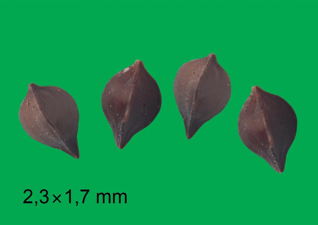 Rumex crispus - mag