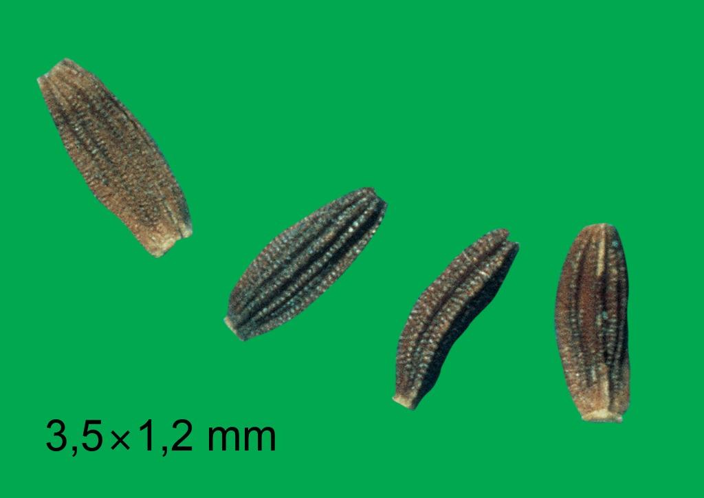 Sonchus arvensis - mag