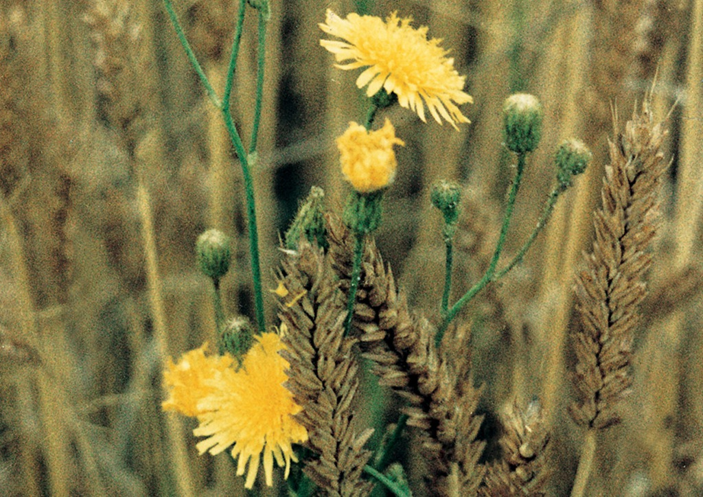 Sonchus arvensis - virágzat