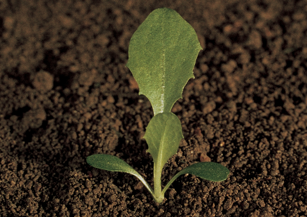 Taraxacum officinale - csíranövény