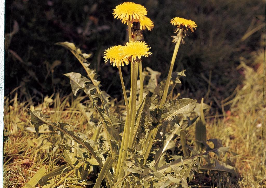 Taraxacum officinale - kifejlett növény