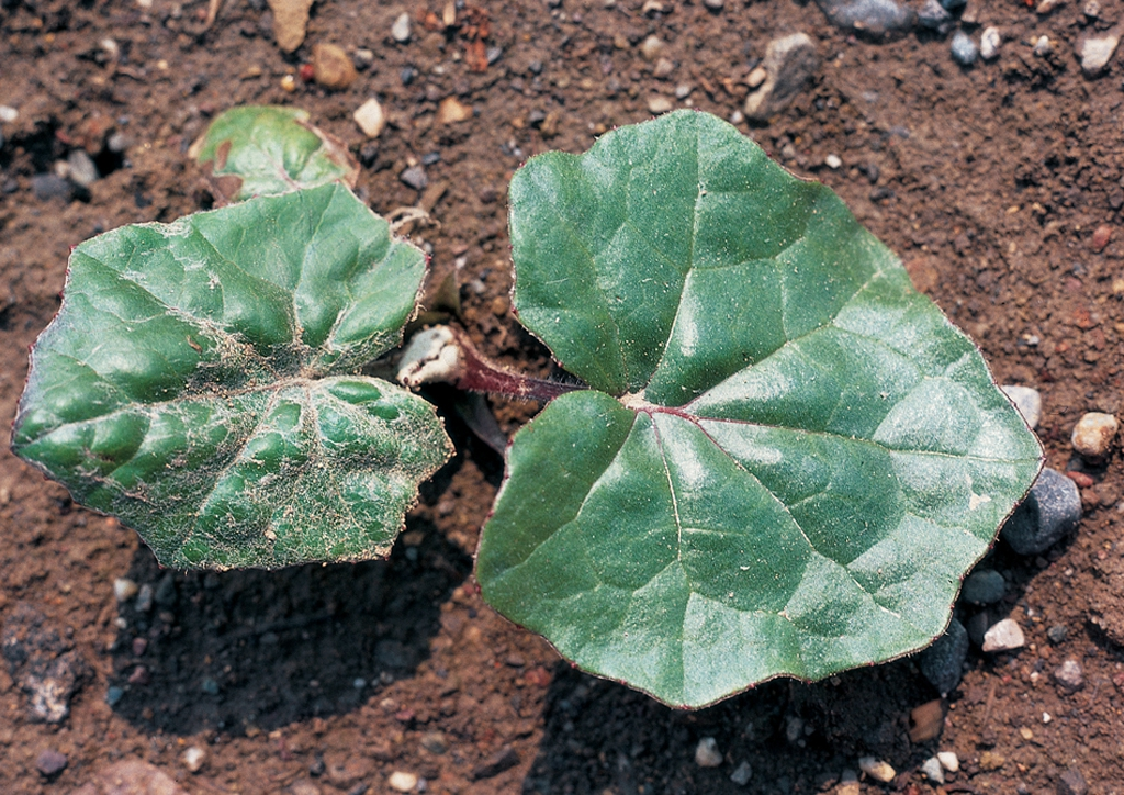 Tussilago farfara - csíranövény