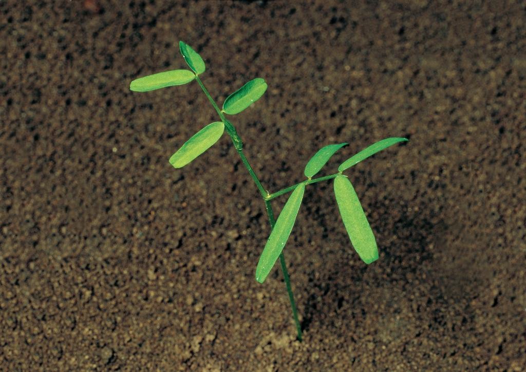 Vicia cracca - csíranövény