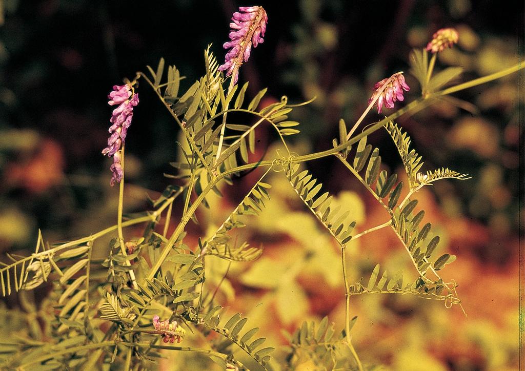 Vicia cracca - kifejlett növény