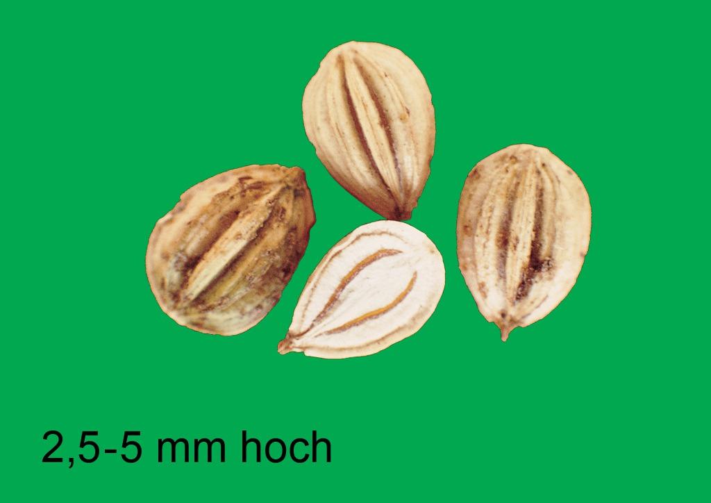 Aethusa cynapium - mag