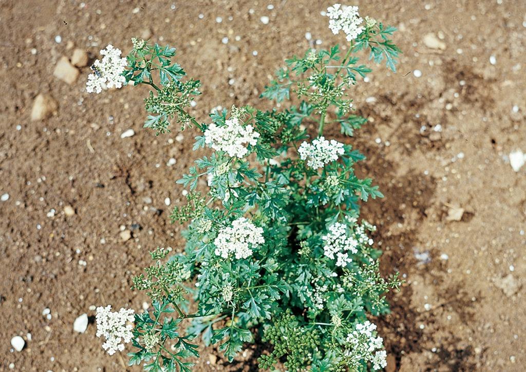 Aethusa cynapium - fiatalon bevirágzott növény