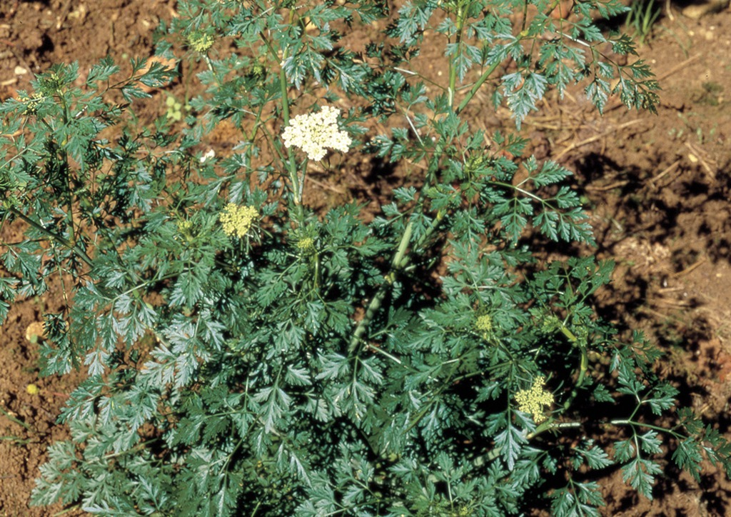 Aethusa cynapium - kifejlett növény