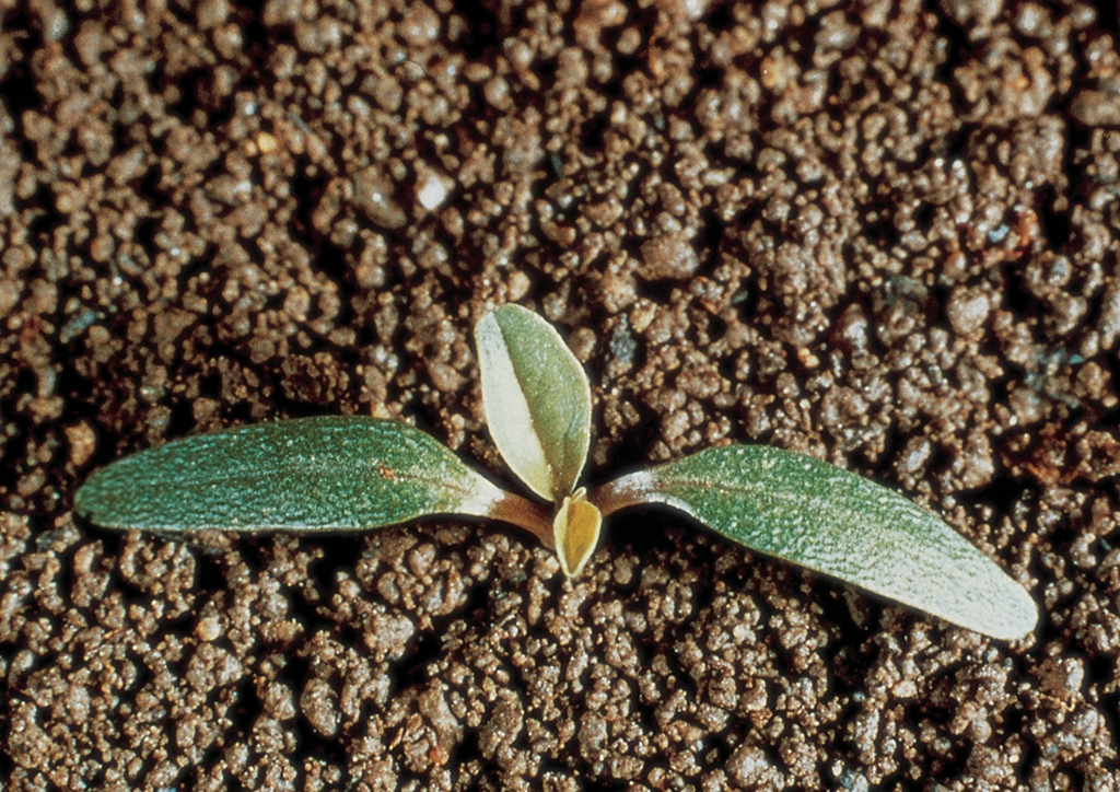 Amaranthus blitoides - csíranövény