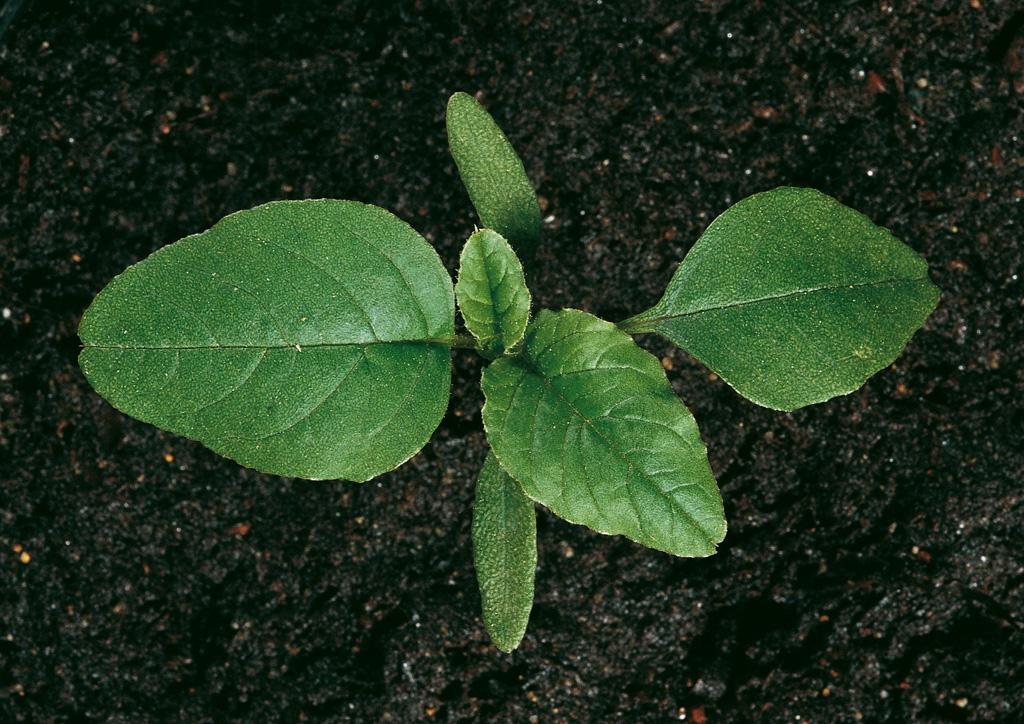 Amaranthus chlorostachys