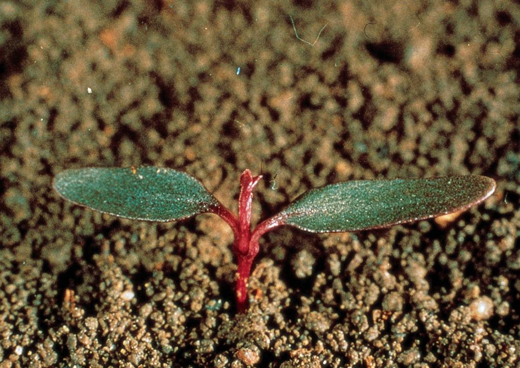 Amaranthus lividus - csíranövény