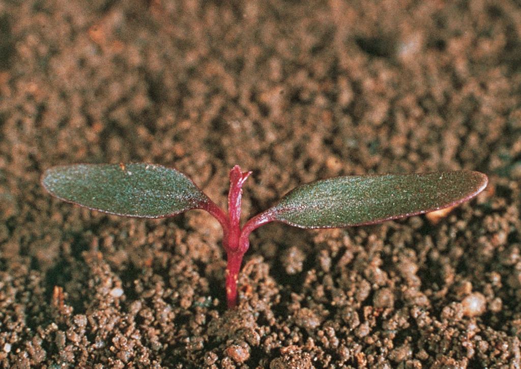 Amaranthus retroflexus - csíranövény