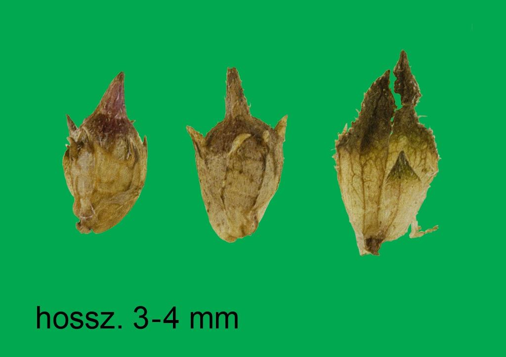 Ambrosia artemisiifolia - termés