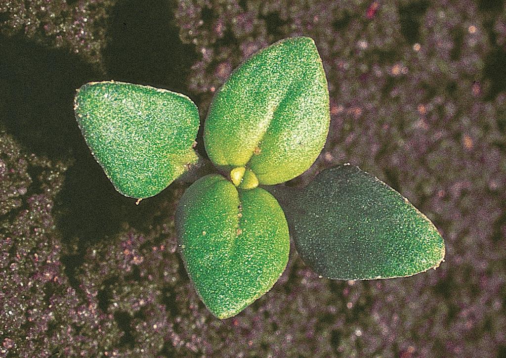 Anagallis arvensis - csíranövény