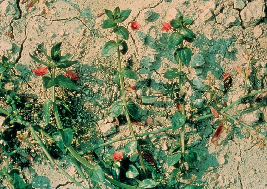 Anagallis arvensis - kifejlett növény