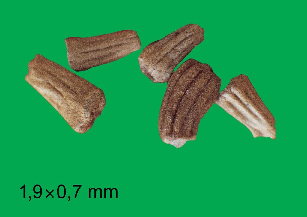 Anthemis arvensis - mag