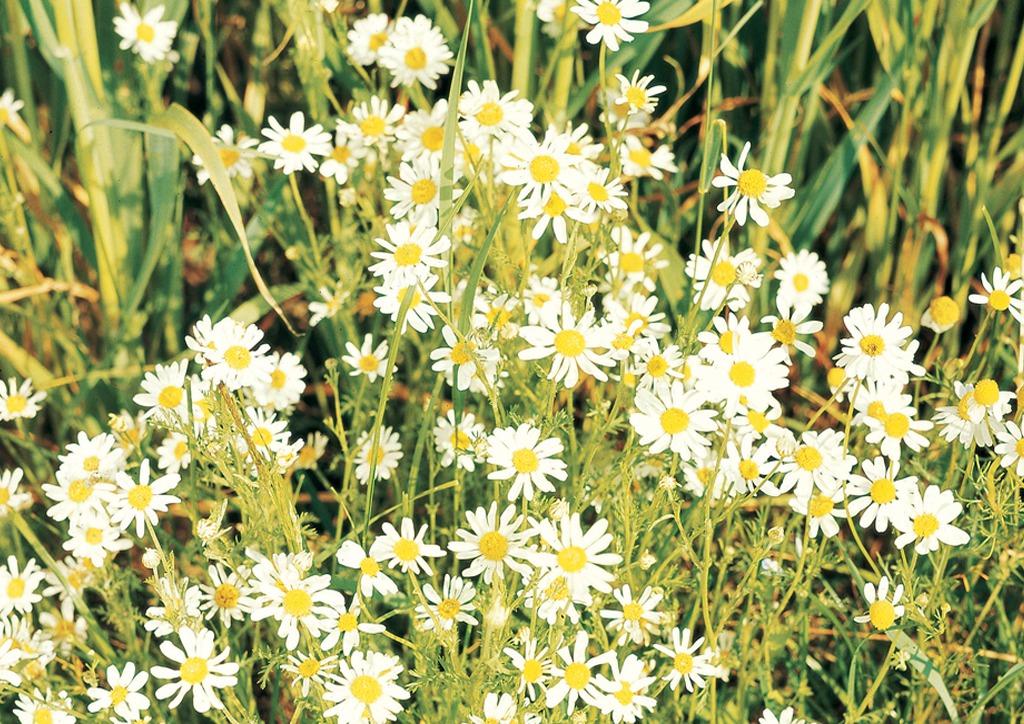 Anthemis arvensis - kifejlett növény