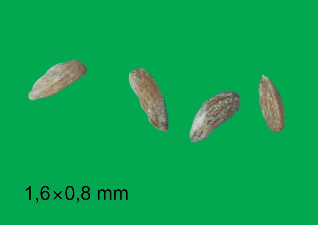 Anthemis cotula - mag