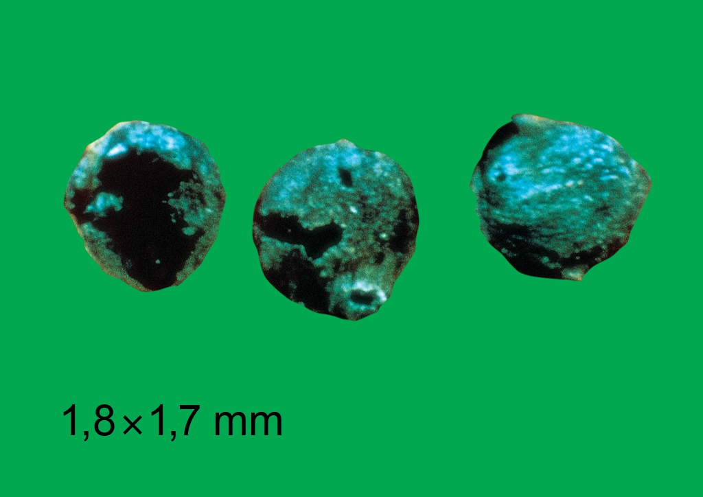 Atriplex patula - mag