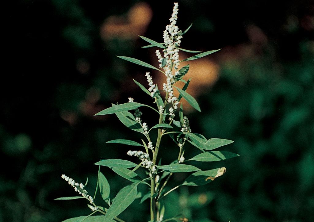 Atriplex patula - kifejlett növény