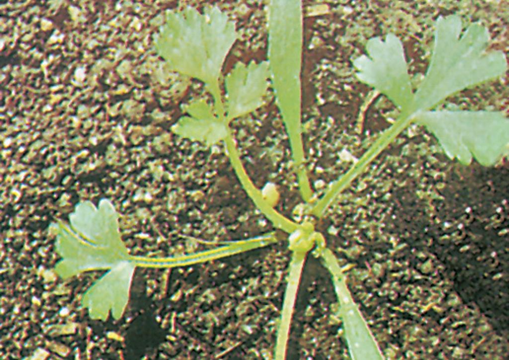 Bifora radians - csíranövény