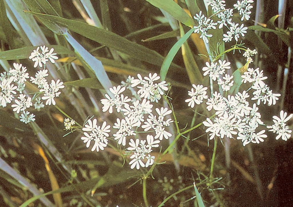 Bifora radians - kifejlett növény