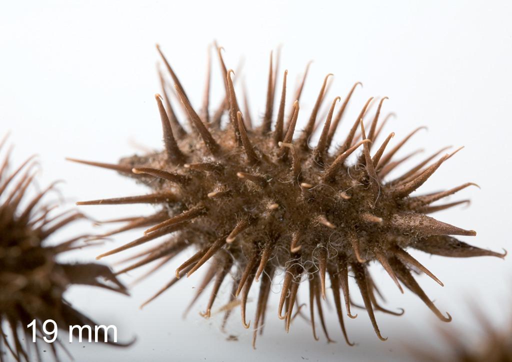 Xanthium strumarium - mag