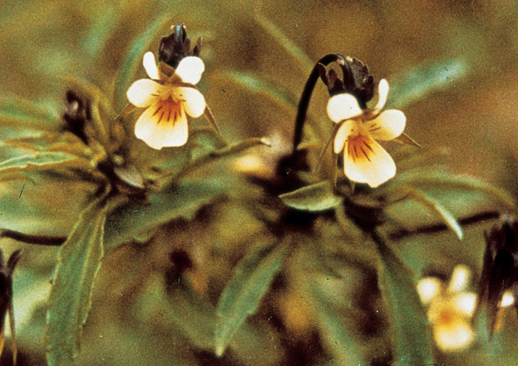 Viola tricolor - kifejlett növény
