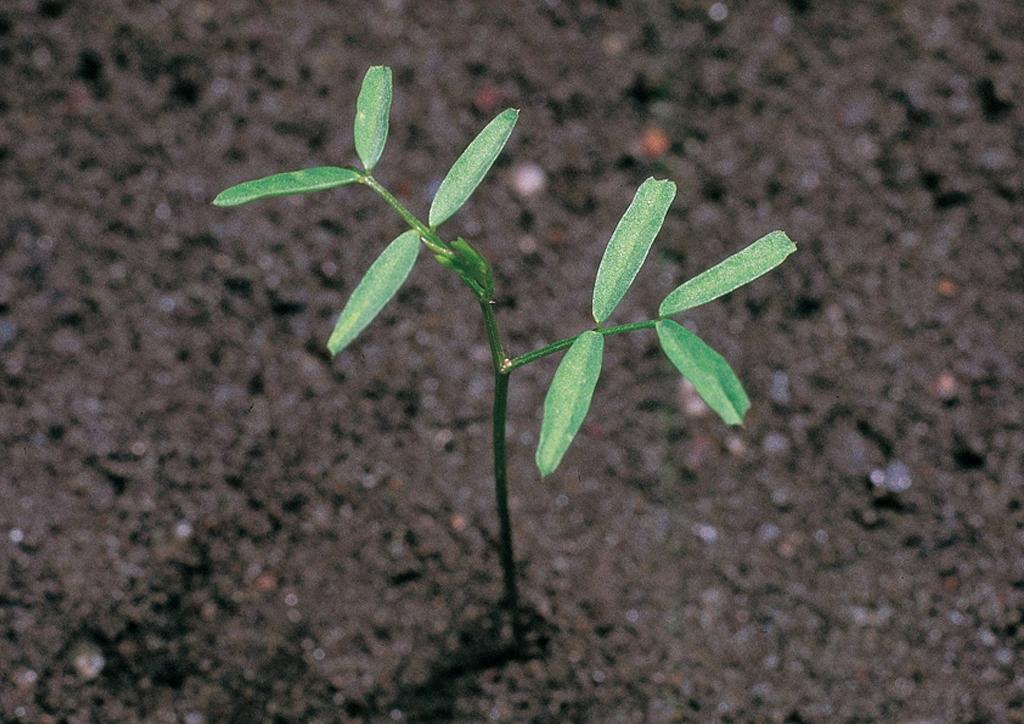 Vicia hirsuta - csíranövény