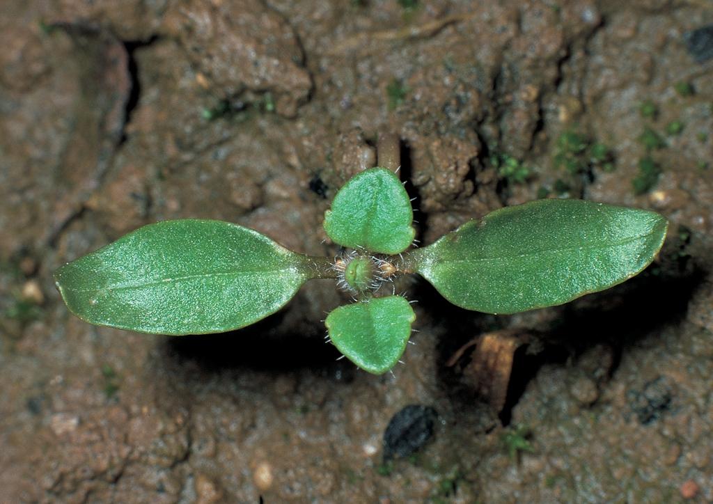 Veronica hederifolia - csíranövény