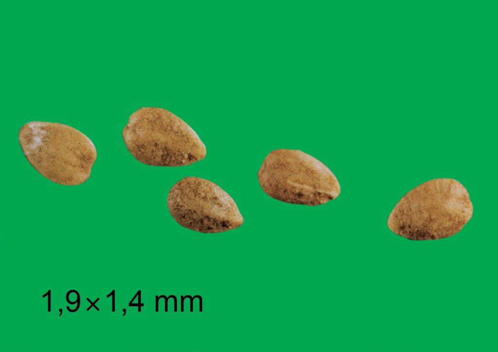Urtica urens - mag