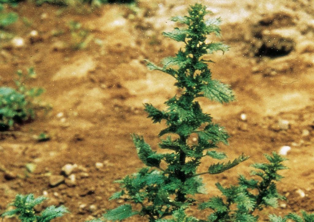 Urtica urens - kifejlett növény