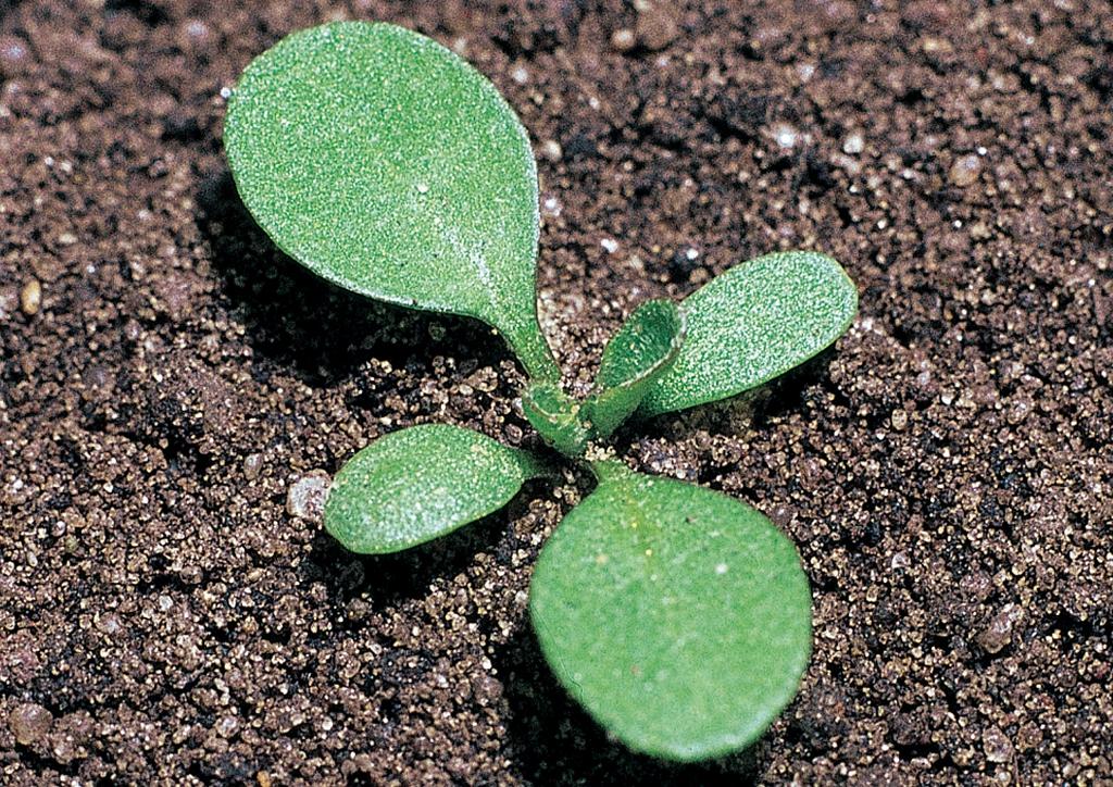 Thlaspi arvense - csíranövény