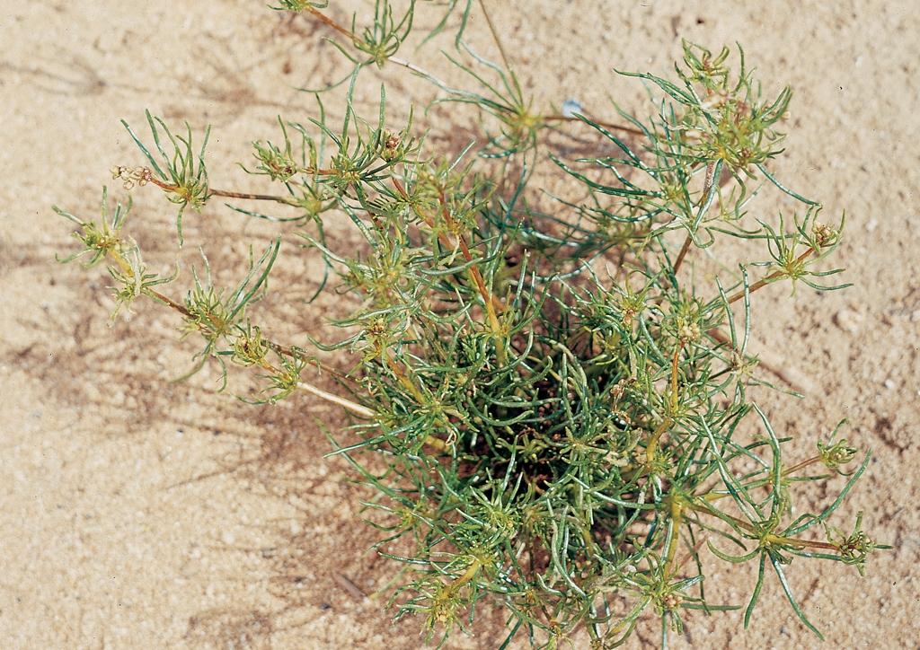 Spergula arvensis - kifejlett növény