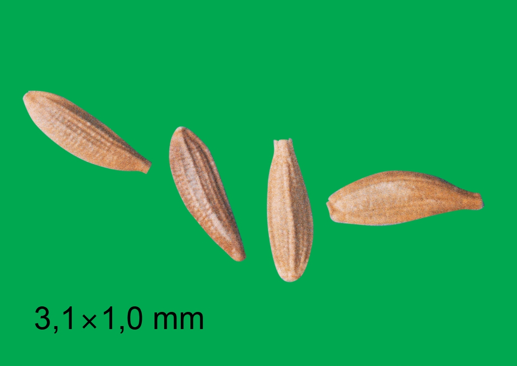 Sonchus oleraceus - mag