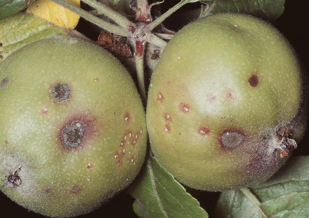 Kártétel alma gyümölcsön