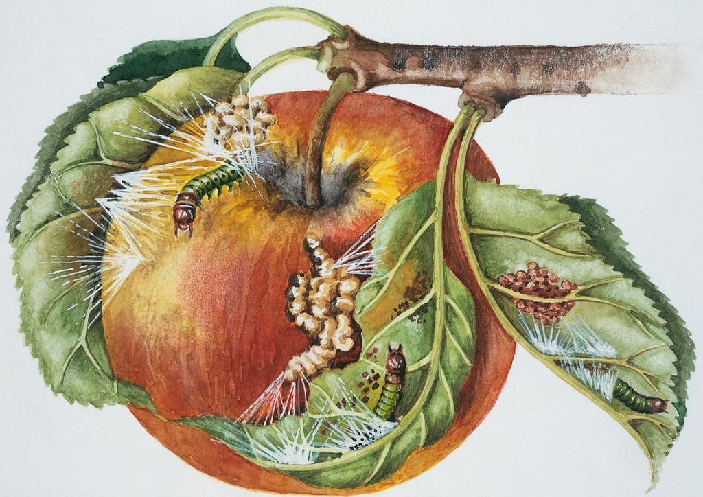 Almailonca - életciklus illusztráció