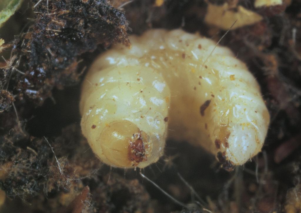Bimbólikasztó kukaca a bimbó belsejében