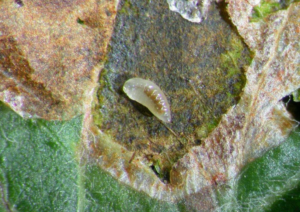 Parazitoid lárva a kibontott aknában