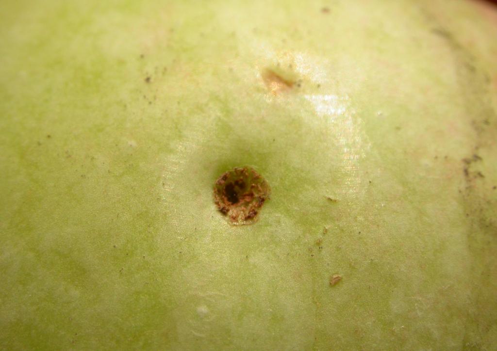 Aranyos eszelény kártétele almán