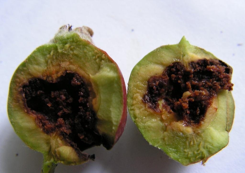 Termés hulláskor látható kártétel - almában