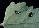 Káposztabolha fajok