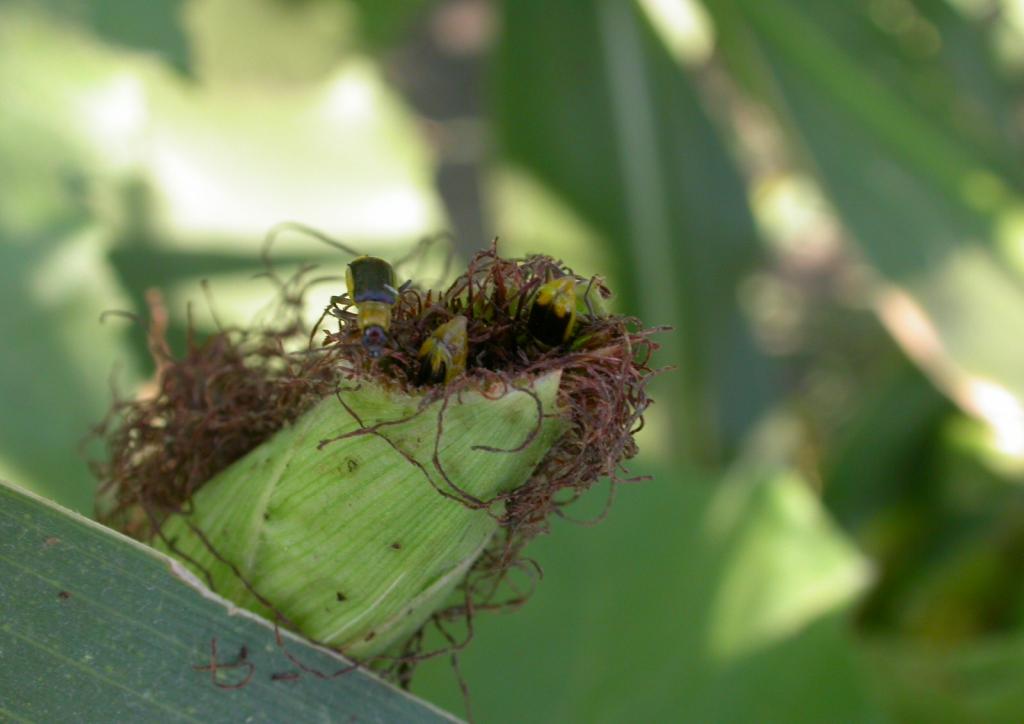 Bibekártétel kukoricában