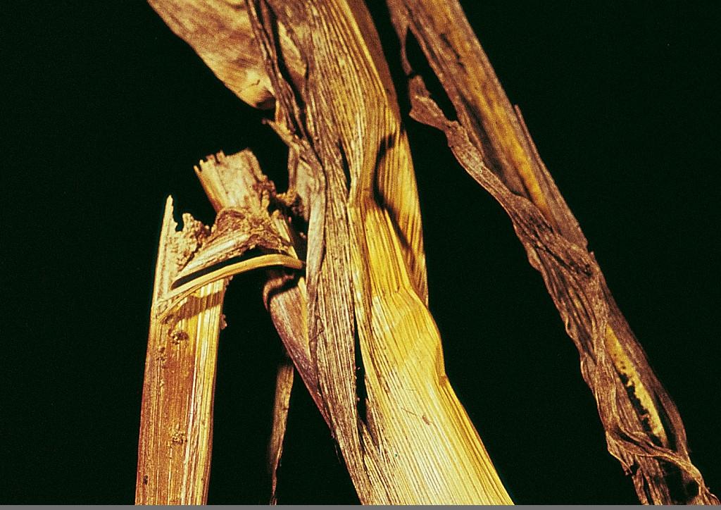 Szártöréses kár kukoricában.
