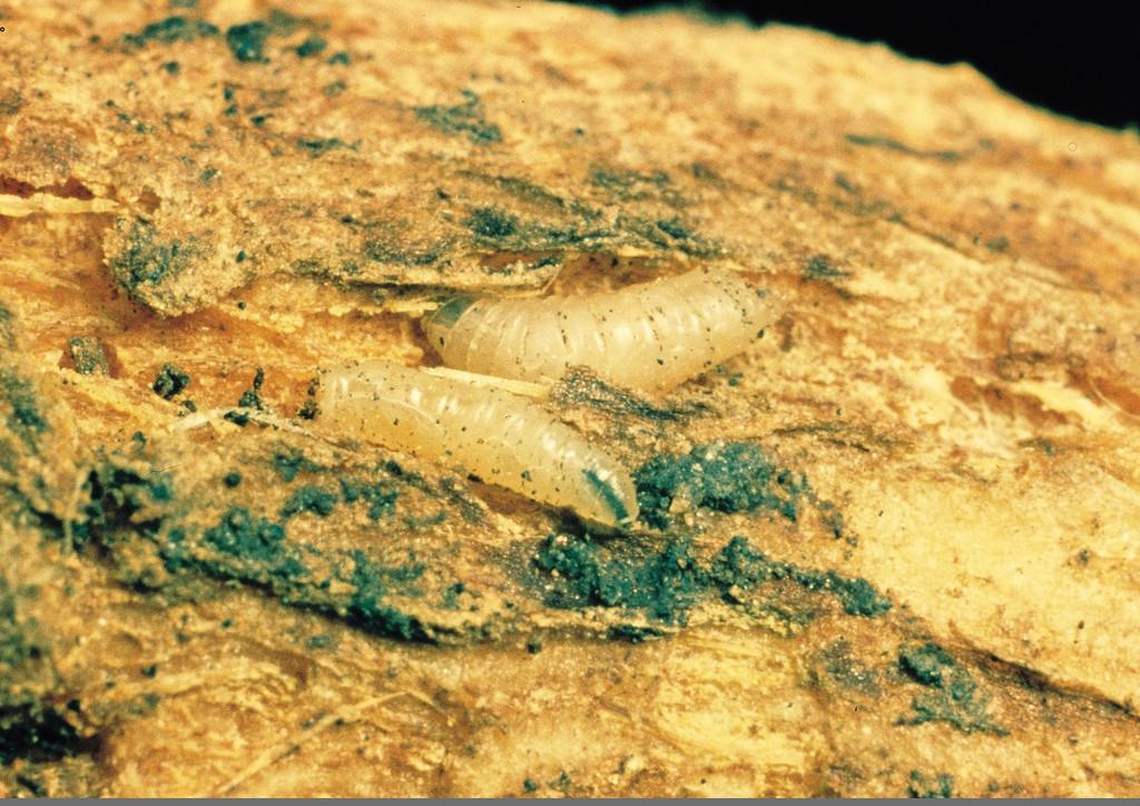 Tápálkozó lárvák repce gyökérnyakán
